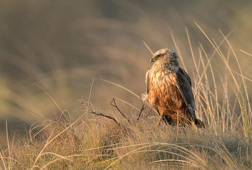 Vogelfotografie Texel.  Bruine Kiekendief zittend fotograferen is geluk hebben.