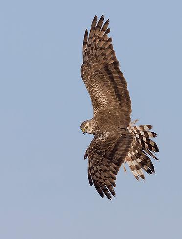 Vogelfotografie Birds in flight Grauwe Kiekendief.