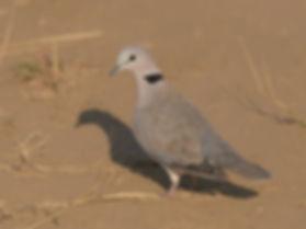 Cape-Turtle Dove (Kaapse Tortel)