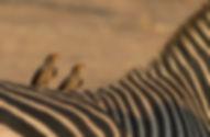 Yellow-Billed-Oxpecker (Geelsnavelossenpikker)