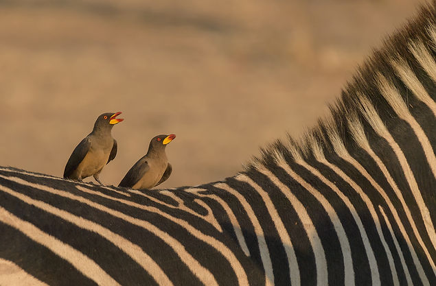 Yellow-Billed-Oxpecker (Geelsnavelossenpikker)