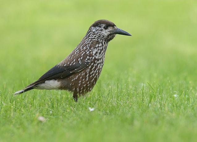 Vogelfotografie Notenkraker.