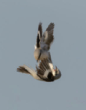 Vogelfotografie Bird in flight Kleine Klapekster.