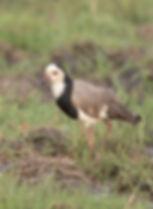 Vogelfotografie Long-Toed-Lapwing.