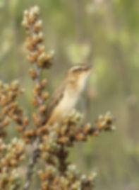 Vogelfotografie Texel. Rietzanger.