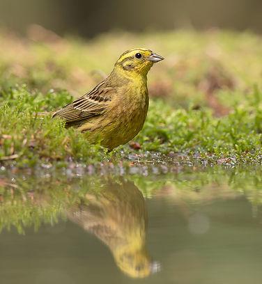 Vogelfotografie, Geelgors