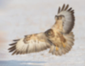 Vogelfotografie Bird in flight Buizerd