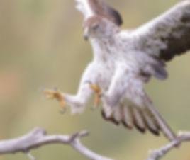 Vogelfotografie Bird in flight Havikarend.