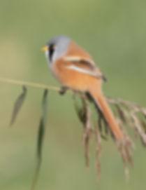 Vogelfotografie, Baardman