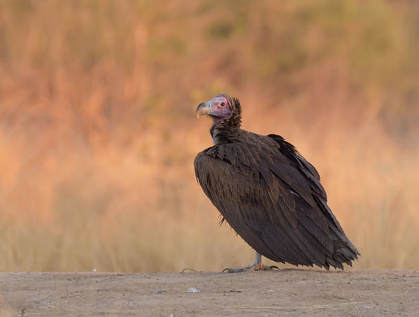 Lappet-Faced Vulture (Oorgier)