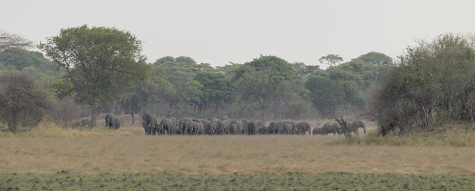 Zambia, Kafeu NP, Olifanten.