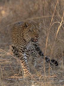 De Luipaard heeft volop focus.