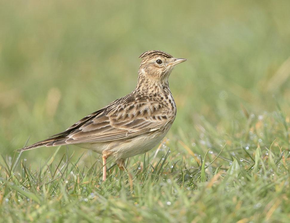 Vogelfotografie, Veldleeuwerik