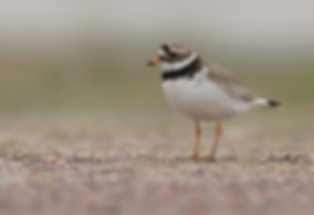 Vogelfotografie, Bontbekplevier.