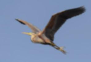 Vogelfotografie Bird in flight Purperreiger.