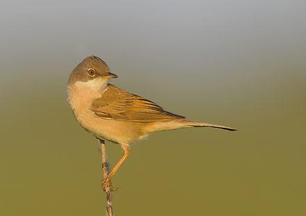 Vogelfotografie Texel. Grasmus.
