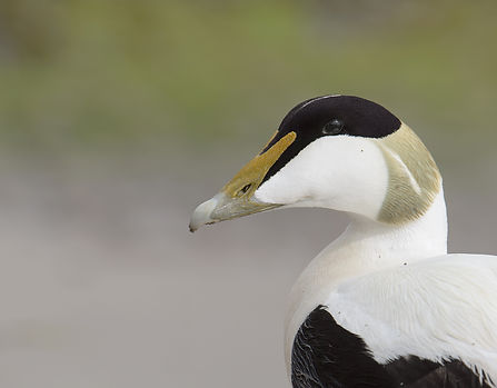Farne Islands,  Eider.
