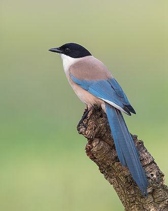 Vogelfotografie Blauwe Ekster.