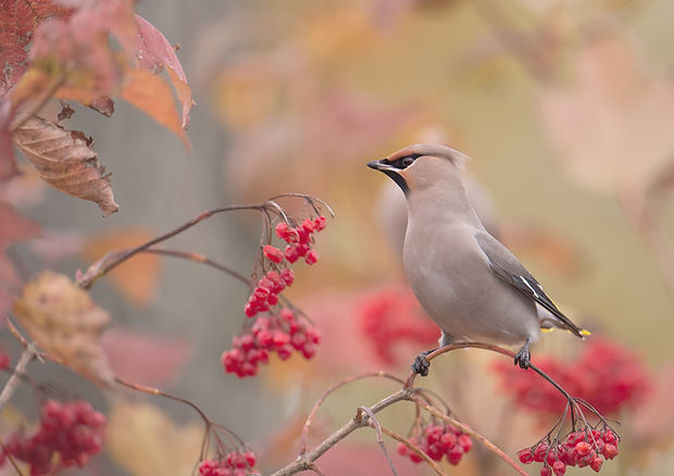 Vogelfotografie Pestvogel.