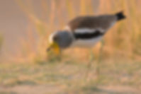 White-Crowned Lapwing (Witkruinkievit)