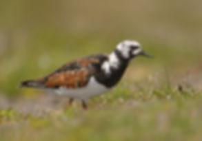 Steenloper gefotografeerd op Texel.