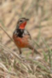 Vogelfotografie, Roodkeellangklauw.