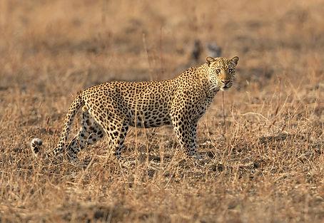 Zambia safari, Luipaard