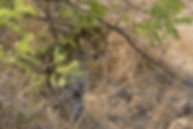 Zambia, Kafue NP, Luipaard.