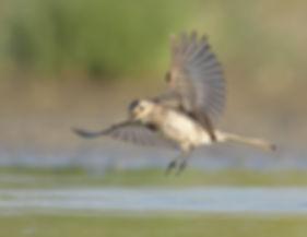 Vogelfotografie Witte Kwikstaart.