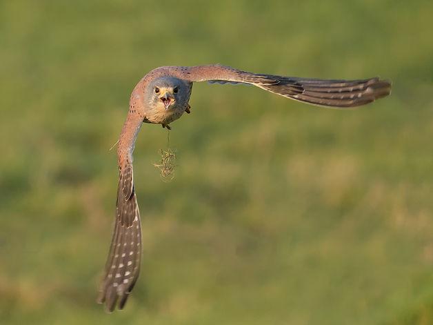 Vogelfotografie, Torenvalk