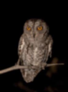 African Scops Owl (Afrikaanse Dwergooruil)