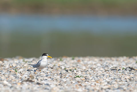 Vogelfotografie Texel. Dwergstern.