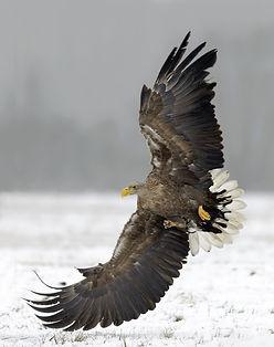 Vogelfotografie Zeearend, Polen