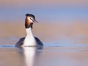Fuut aan het rond zwemmen op zoek naar vrouwtje.