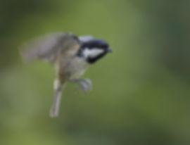 Vluchtfoto Zwarte Mees.