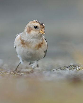 Vogelfotografie, Sneeuwgors.