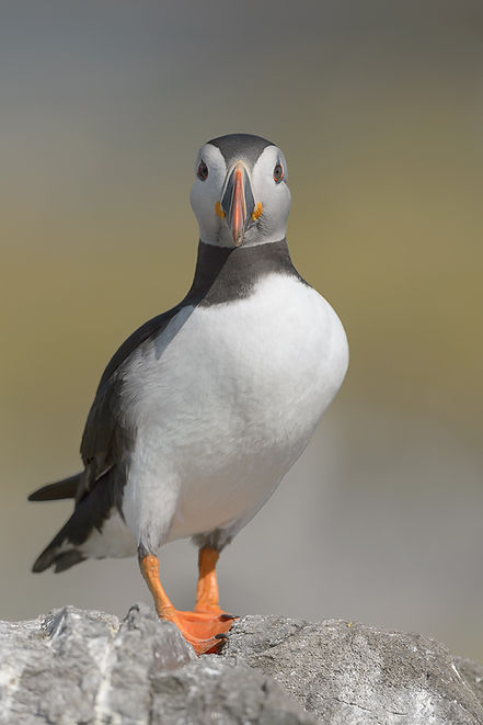 Farne Islands,  Papegaaiduiker.