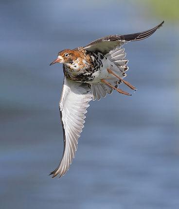 Vogelfotografie Bird in flight Kemphaan.