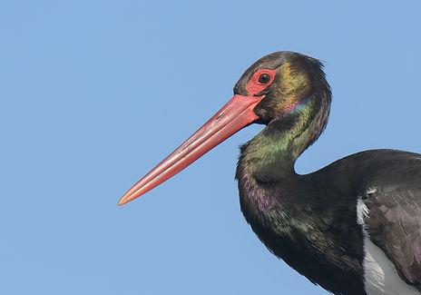 Vogelfotografie Lesbos, Zwarte Ooievaar.