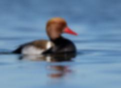 Vogelfotografie Krooneend.