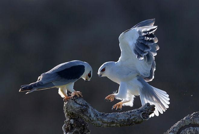 Vogelfotografie Grijze Wouw