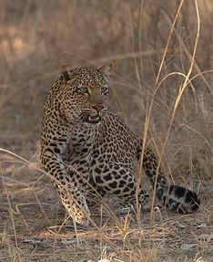 Luipaard plotseling wordt ze alert en staat op.