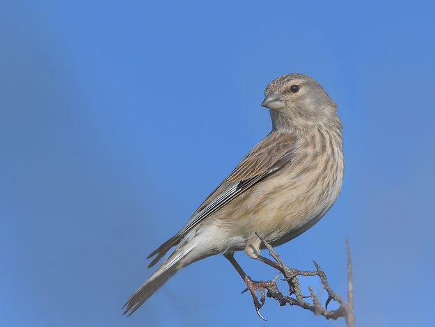 Vogelfotografie Texel.  Kneu vrouwtje.