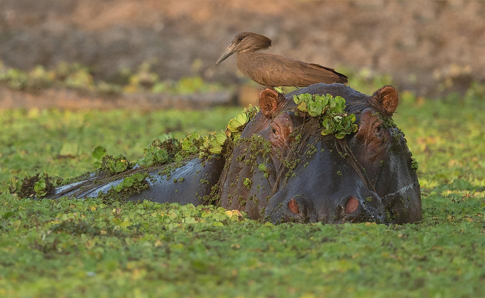 Hamerkop op kop Hippo.