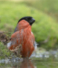 Vogelfotografie Goudvink.