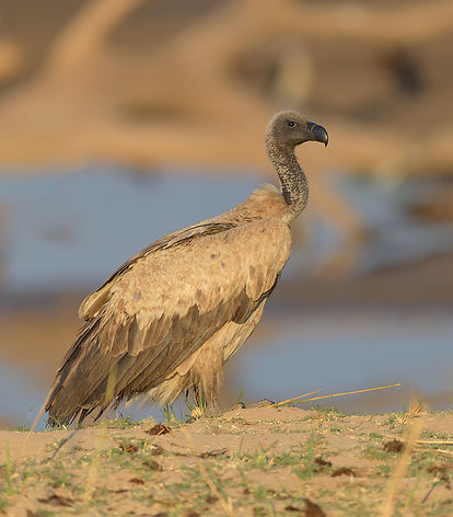 White-Backed Vulture (Witruggier)