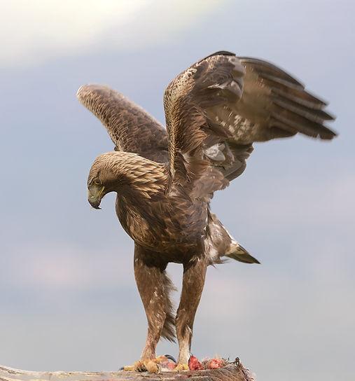 Vogelfotografie Toledo, Spanje,  Steenarend.