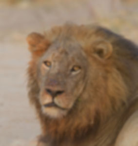 Lion Garlic (Leeuw)