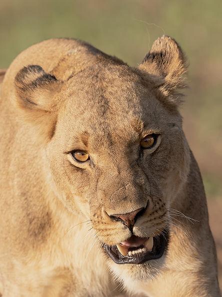 Zambia, Kafue NP, Lion.