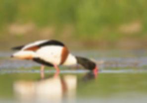 Vogelfotografie Bergeend.